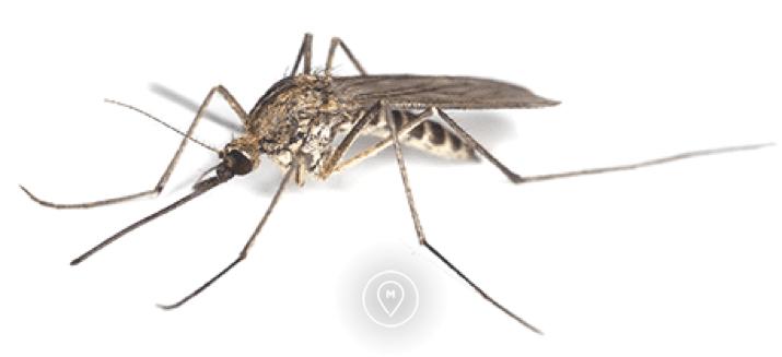 Комар рода Anopheles - малярия